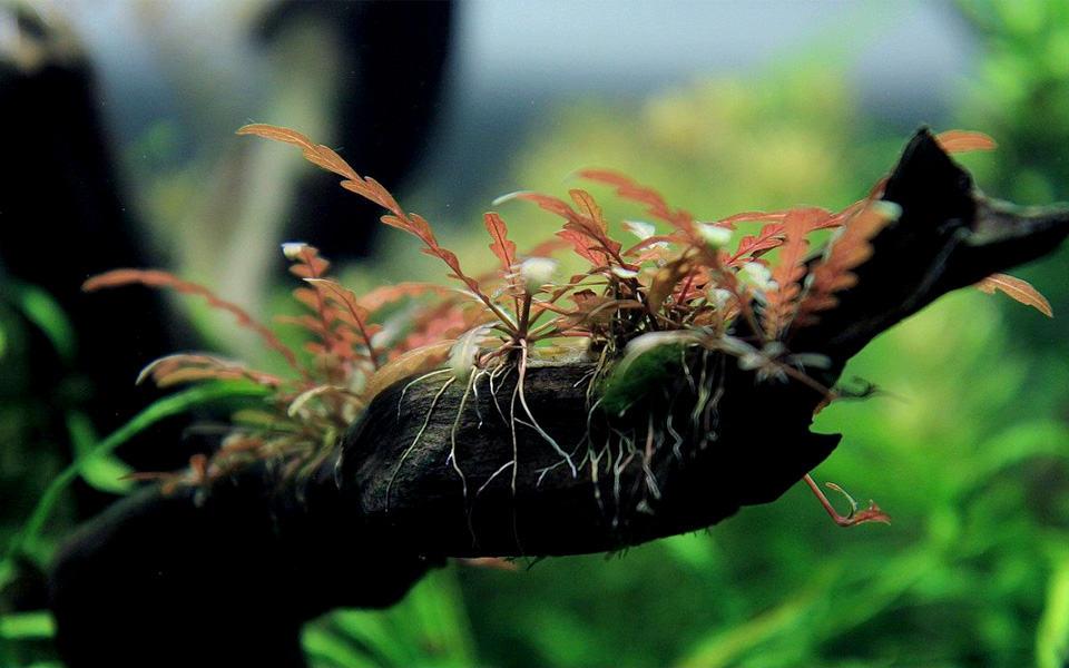 Hygrophila pinnatifida: una pianta di moda