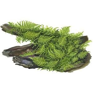Vesicularia