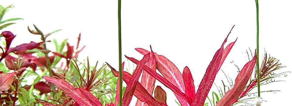 Buce Plant