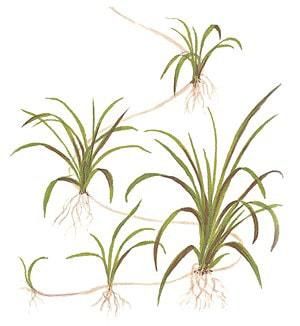 Elanthium tenellum