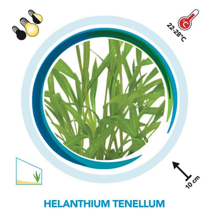 Helanthium tenellum