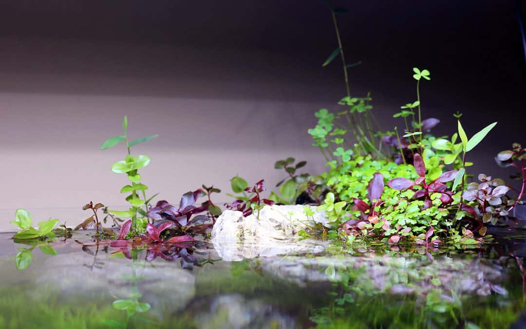 Piante emerse acquario