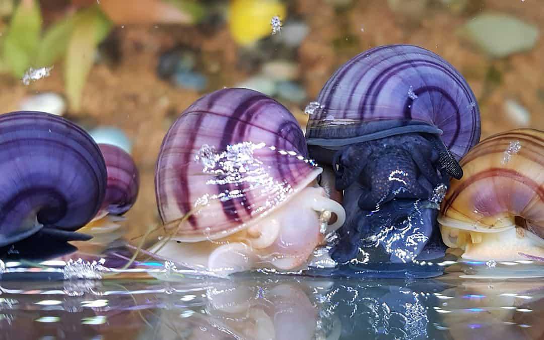Lumache in acquario