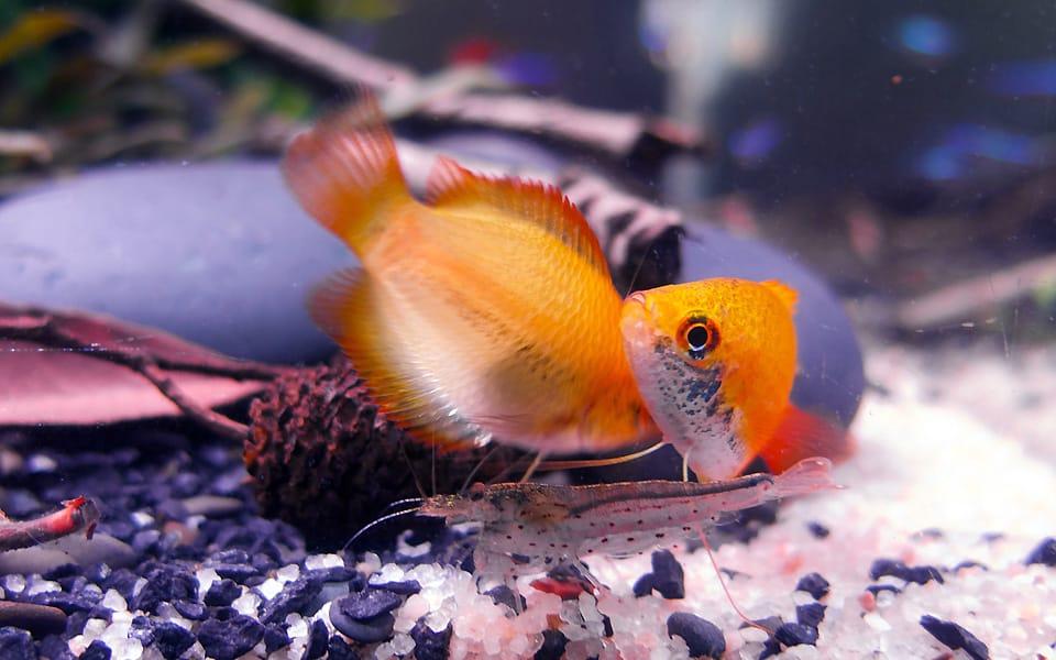 Pesci di acqua dolce: anabantidi