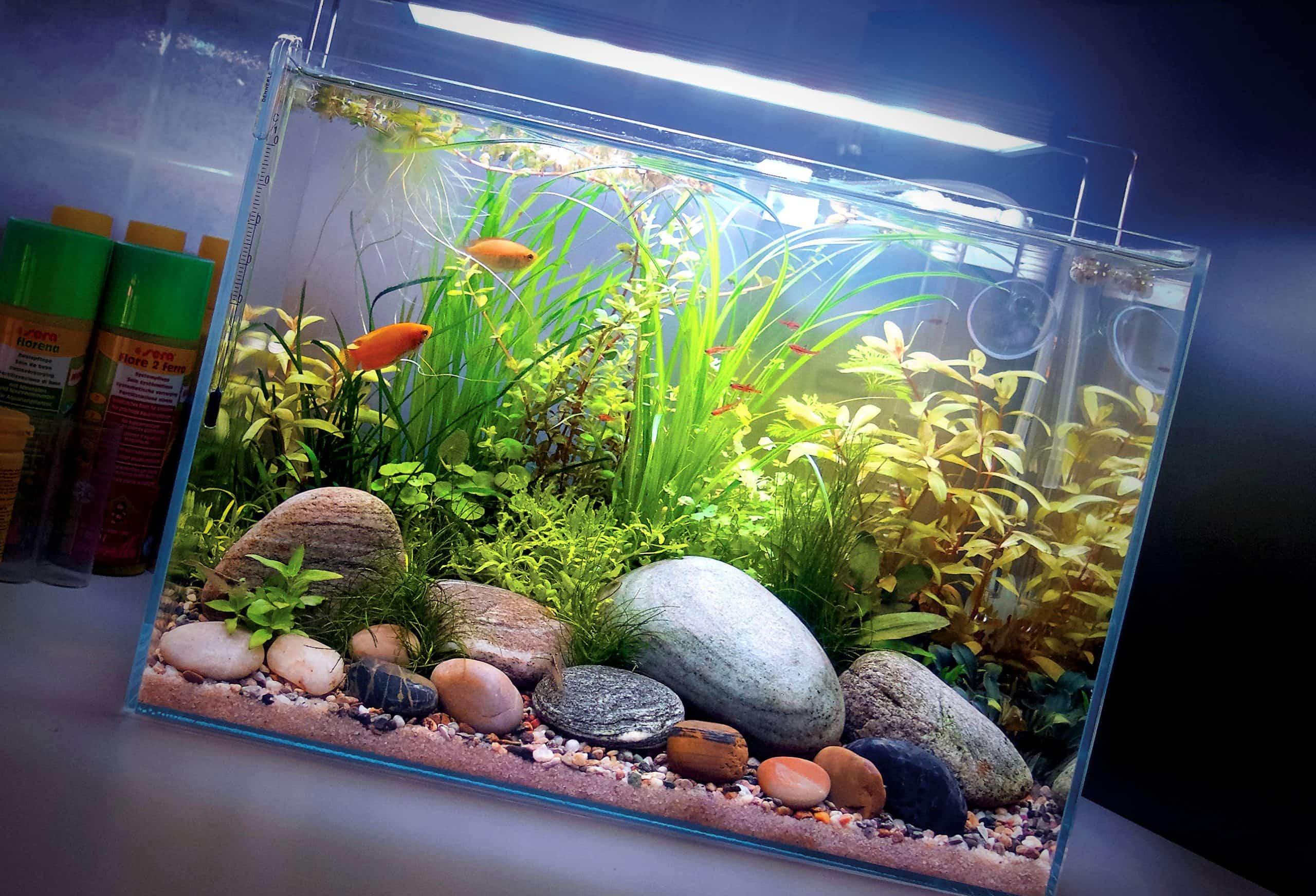 Pesci di acqua dolce tropicali: Anabantidi