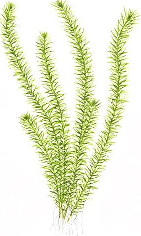 Piante acquatiche ossigenanti: Mayaca fluviatilis